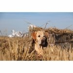 shop Tanglefree Flight Series Dog Blind with Lab in the Field