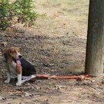 shop TufFlex Chain Tree Lead on a Beagle attached to a pole