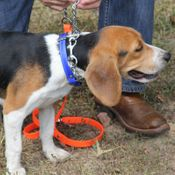 shop TufFlex Chain Tree Lead on a Beagle as a Slip Lead