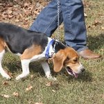 shop TufFlex Chain Tree Lead on a Beagle as slip lead