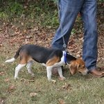 shop TufFlex Chain Tree Lead on a Beagle as Snap Lead