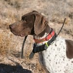 shop Vernon's Dog Richard (GSP)