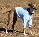 Italian Greyhound Lightweight Shirt - Azure Blue