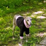Italian Greyhound Sweatshirt - Black & Pink