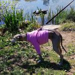 Italian Greyhound Lightweight Shirt - Rose