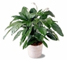 """8"""" Spathiphyllum Plant Peace Lily"""