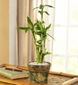 Bamboo in Asian Planter small
