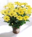 Daisy Chrysanthemum (Large)