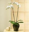Graceful Beauty Phalaenopsis Orchid