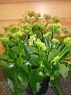 Kalanchoe 6 inches