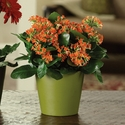 Kalanchoe in Green pot small