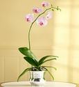 Modern Orchid
