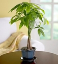 Money Tree Plant (Sm) 4inches