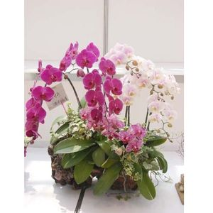 Assorted ORCHIDS plants
