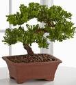 Peace & Harmony Juniper Bonsai