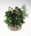 Sympathy basket of mixed green plants.
