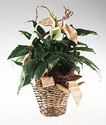 Sympathy Spathiphyllum plant in a basket 8 inches