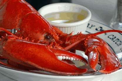 1 1/4 pound Fresh Live Maine Lobsters!