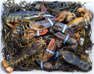 24 Count 1 /1/2 lb. Live Maine Lobsters