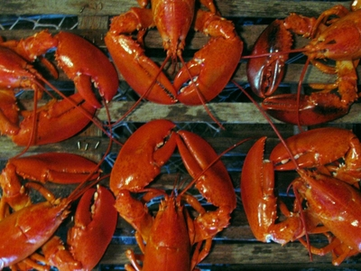 6 Pack Of 1 3/4 to 2 pound Live Maine Lobsters!
