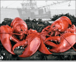 <i>Fresh Steamed Maine Lobster Packs!