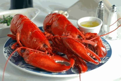 Two pack of 1 1/4 pound Live Maine Lobsters!
