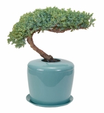 Celadon Blue Bonsai Tree System Cremation Urn