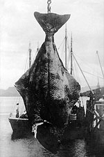 Alaska Fishing 200 lb. Halibut Fish 1900s Photo Print for Sale