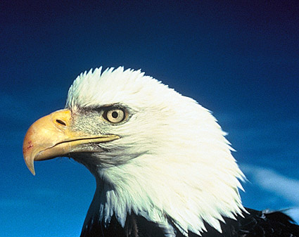 American Bald Eagle Alaska Wildlife Photo Print