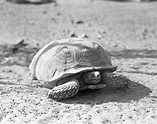Desert African Spurred Tortoise, Africa 1936 Photo Print for Sale