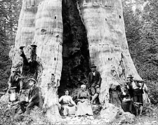 Mother of the Forest, Giant Sequoia Tree Photo Print for Sale