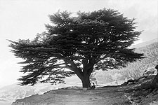 Mount Mar Sarkis & Cedar Tree Ehdin Lebanon Photo Print for Sale