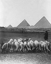 Pyramids & Plains in Egypt w/ Sheep 1900 Photo Print for Sale