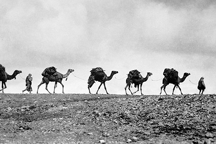 Train of Camels 1940s Photo Print