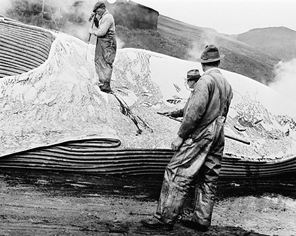 Whalers Removing Whale Blubber 1930s Photo Print