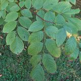 Bare Root American Yellowwood (<i>Cladrastis kentukea</i>)