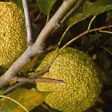 Bare Root Osage Orange (<i>Maclura pomifera</i>)