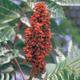 Bare Root Smooth Sumac (<i>Rhus glabra</i>)