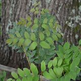 Bare Root Royal Fern (<i>Osmunda regalis</i>)