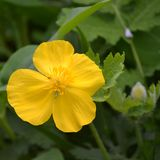 Bare Root Celandine Wood Poppy (<i>Stylophorum diphyllum</i>)