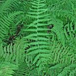 Bare Root New York Fern (<i>Thelypteris noveboracensis</i>)