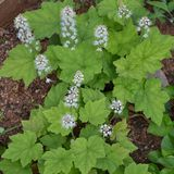 Bare Root Heartleaf Foamflower (<i>Tiarella cordifolia</i>)
