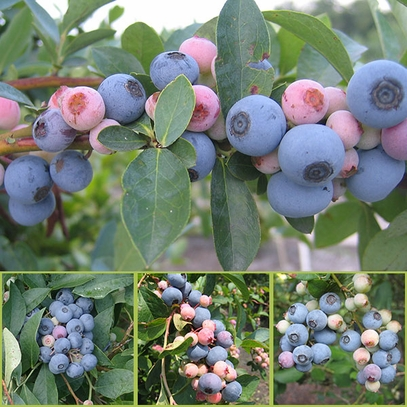 Bare Root Rabbiteye Blueberry Plant Collection (Vaccinium virgatum cv.)