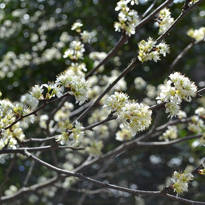 Bare Root Chickasaw Plum (Prunus angustifolia)