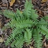 Bare Root Christmas Fern (Polystichum acrostichoides)