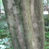Bare Root Ironwood (Carpinus caroliniana)