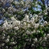 Bare Root Juneberry (Amelanchier canadensis)