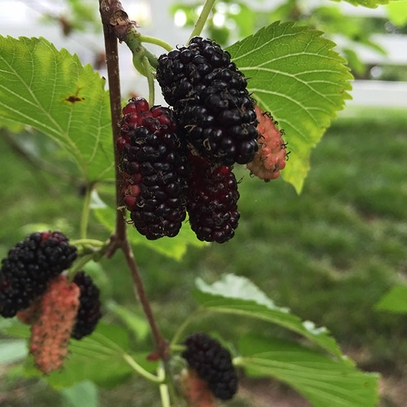 Bare Root Red Mulberry (Morus rubra)