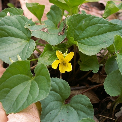 Bare Root Smooth Yellow Violet (Viola pensylvanica)