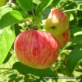 Bare Root Bevan�s Favorite Apple Tree (<i>Malus</i> cv.)